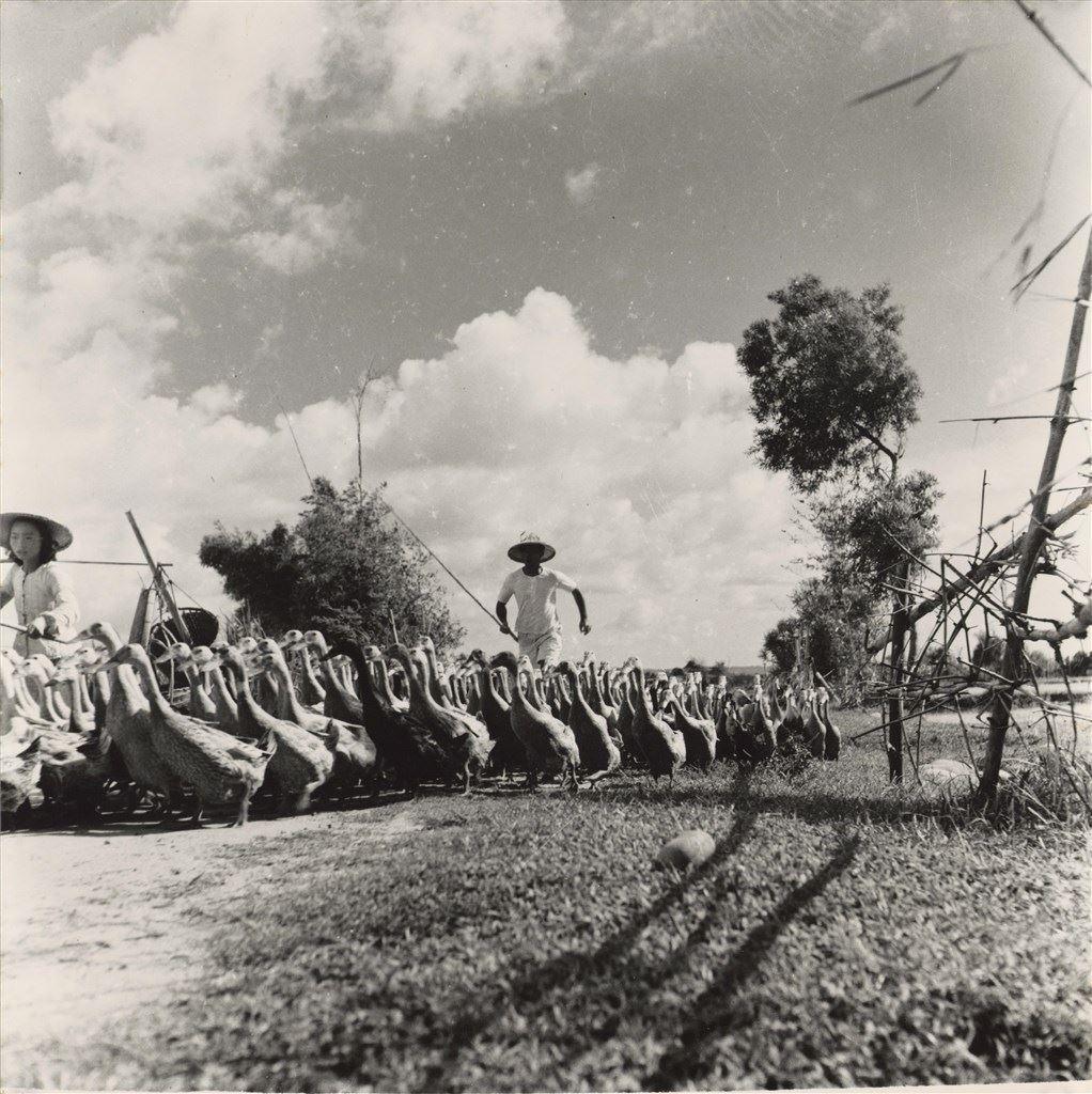 道途趕鴨 1950
