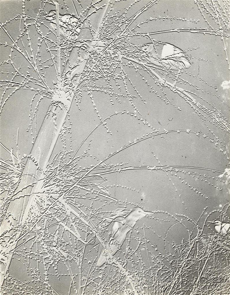 竹花鷺鷺,1953